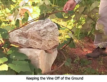 Vine Off the Ground