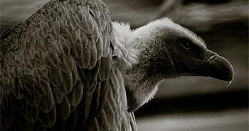 Carrion Bird