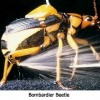Bombardier Beetle